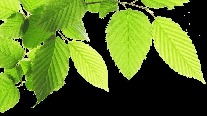 Leuchtend grüne Blätter an einem Zweig