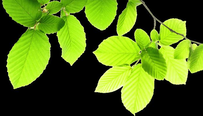 Hell grüne Buchenblätter durch die Licht scheint